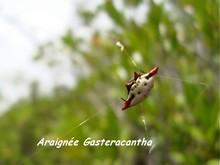 araignée foret seche, ecosysteme tropical, guadeloupe, antilles