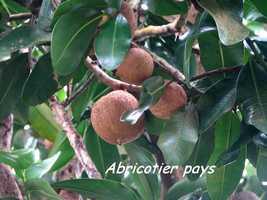 abricotier, arbre, bras de fort, goyave, guadeloupe