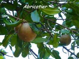 abricotier, arbre, TGT , grande terre, Guadeloupe