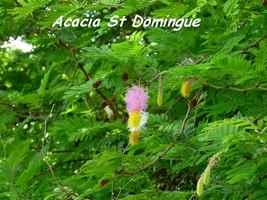 Dichrostachys cinerea, Acacia St Domingue, Poyen