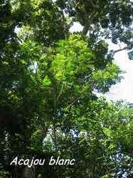 acajou blanc, arbre, bras de fort, goyave, guadeloupe