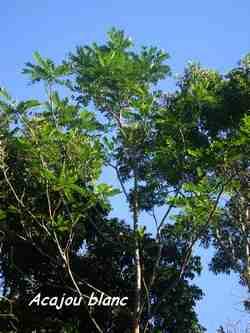 acajou, arbre, 36 mois, ste rose, guadeloupe, antilles