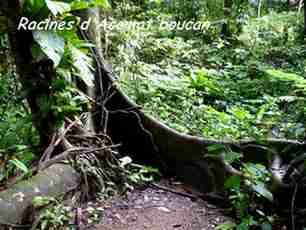 acomat boucan, racines, arbre, beausouleil, route soufrière, guadeloupe