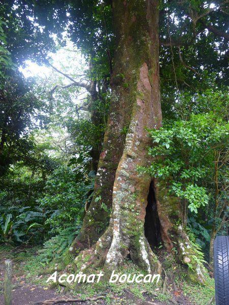 Sloana caribeae, Bains jaunes , Basse terre, guadeloupe