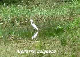 Egretta thula, Aigrette neigeuse, Gaschet