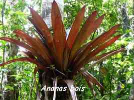 Glomeropitcairnia penduliflora, ananas bois, bromeliacée épiphyte