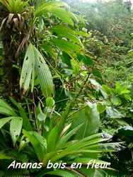 ananas bois, chutes carbet, basse terre, guadeloupe