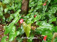 anthurium, flore, madeleine, basse terre sud, guadeloupe