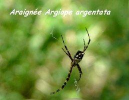 Argiope argentata, Araignée, Gaschet