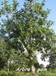 arbre à pain, bras de fort, goyave, guadeloupe