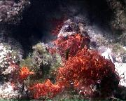 algue rouge