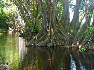 Pterocarpus officinalis, Ravine Corneille, guadeloupe