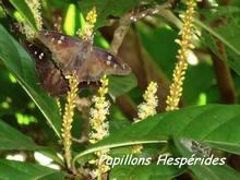 balade terre de bas, papillon, les saintes, iles guadeloupe, antilles
