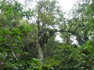 balade grosse corde arbre foret humide ecosysteme tropical guadeloupe