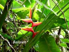 balisier, herbace, soufrire , guadeloupe