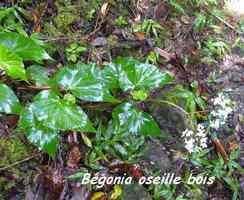 Begonia obliqua, oseille bois, Piton de Bouillante