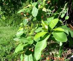 bois cabri bâtard, Bourreria succulenta, Moule bois baron, grande terre nord, guadeloupe