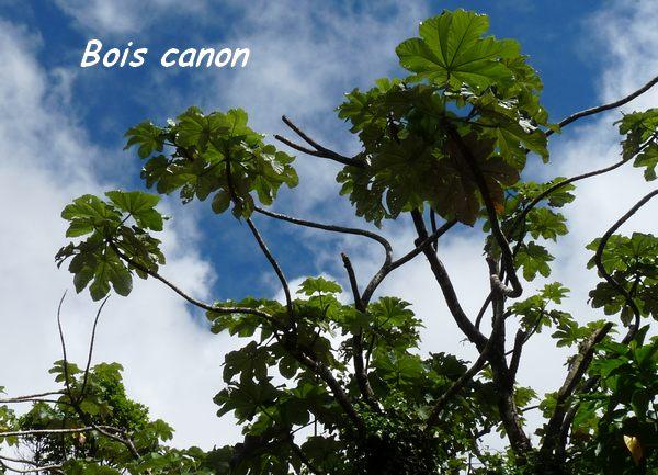 Cecropia sheberiana, soufrière,
