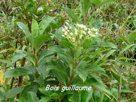 bois guillaume, arbuste, soufrire , guadeloupe