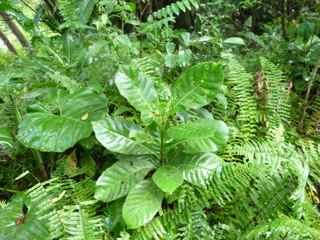 bois bandé, marbri, arbre foret humide, écosystème tropical