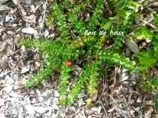 arbuste, foret seche, barre de cadoue, grande terre, guadeloupe