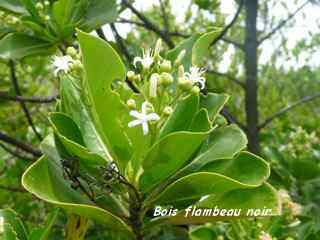 arbuste, foret seche, balade barre de cadoue, grande terre, guadeloupe