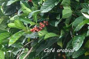 café, culture, bras de fort, goyave, guadeloupe