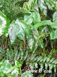 Montrichia arborescens, malanga gratter , guadeloupe, antilles