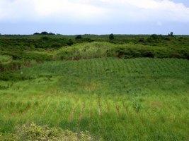 champ canne à sucre, mahaudière, anse bertrand, grande terre, Guadeloupe