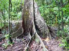 chataignier contreforts, arbre, chute galion, basse terre sud, guadeloupe