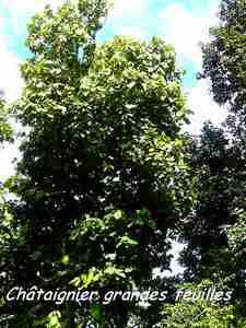 chataignier, arbre, foret humide, nez cassé; st claude, basse terre, guadeloupe