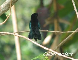 colibri, oiseau, bras de fort, goyave, guadeloupe