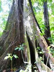 acomat, arbre, madeleine, basse terre sud,, guadeloupe