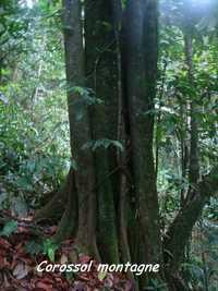 corossol montagne,arbre, trace 36 mois, ste rose, basse terre, guadeloupe