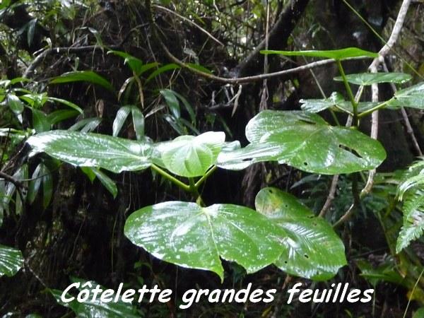 Graffenridia Cotelette grandes feuilles, Piton Bouillante L
