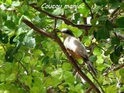 coucou manioc, oiseau, pointe des cgateaux, grande terre