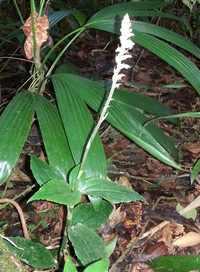 orchidée, Cranichis muscosa, nez cssé, st claude, basse terre, guadeloupe
