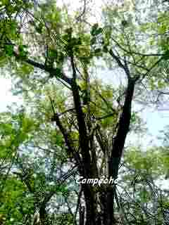 arbre, foret seche, barre de cadoue, grande terre, guadeloupe
