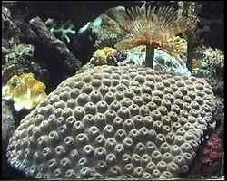 corail, benthos, fond marin tropical, récif corallien, guadeloupe, antilles