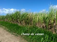 champ de cannes, moule, grande terre,cultures, guadeloupe, antilles