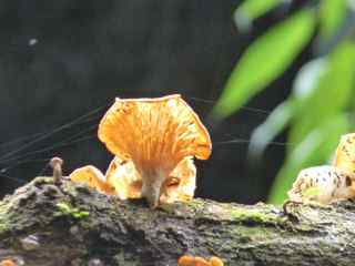 champignon foret tropicale humide antilles