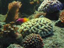 coraux madrépores