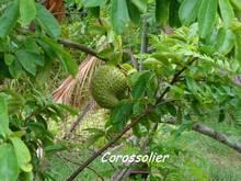 balade rivière audoin, Moule, arbre, guadeloupe, antilles