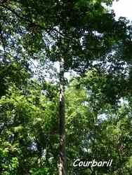 balade, rivière plessis, arbre, basse terre, guadeloupe, antilles