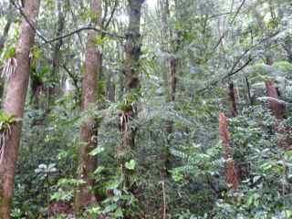 frézias cyprès acajou blanc, arbre, foret humide ecosystème tropical