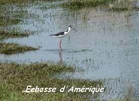 Himantopus mexicanus, Echasse d`Amérique, Gaschet