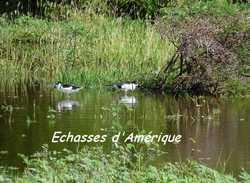 echasses, oiseauxn pointe des chateaux, grande terre