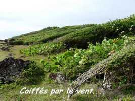 Arbustes coiffés par le vent, Grande Pointe