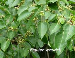 Ficus citrifolia, Figuier maudit, Poyen