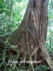 ficus etrangleur, arbre, bras de fort, goyave, guadeloupe